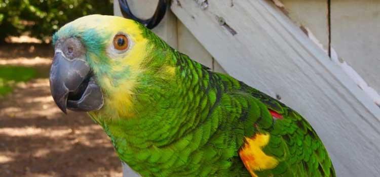 Ambassador Amazon Parrot