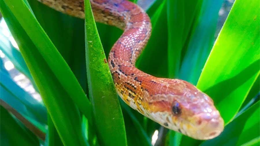 Nagani the Corn Snake