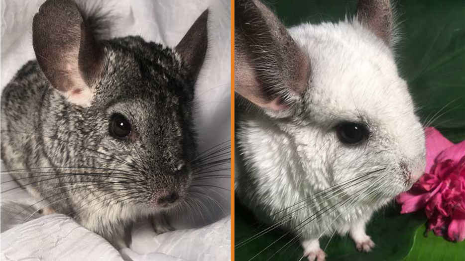Our Chinchilla Ambassadors, Apu and Inti