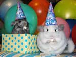 Chinchilla's Api and Inti Celebrating Birthday Party