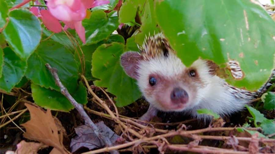 Ambassador Kismit is our African Hedgehog