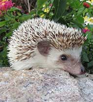 Kismet the African Pigmy Hedgehog