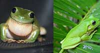 Prince and Sydney are White Tree Frogs