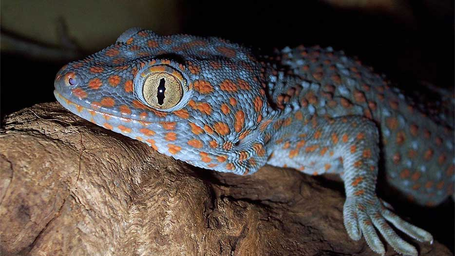 Typical Tokay Gecko