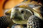 This is our cute little Russia Tortoise