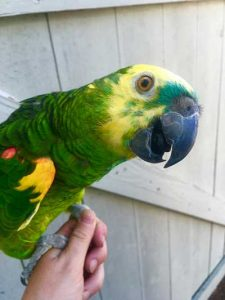 Amazon Parrot Talks