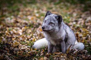 Arctic Fox Looks Alert