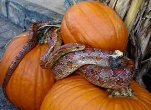 Corn Snake Likes Pumpkins