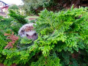 Hedgehog hiding in bushes