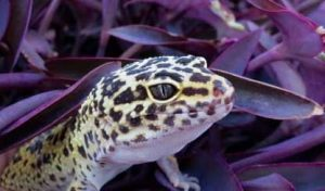 Leopard Gecko Partially Concealed in Leaves
