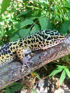 Leopard Gecko in Tree