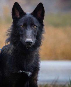 Wolf Dog Rowan is looking on High Alert