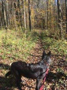 Wolf Dog on the Trail
