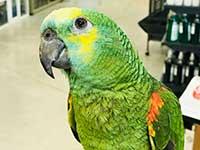 Amazon-Parrot