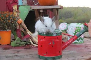 Chinchilla on Watering Can