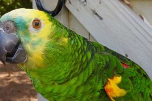 Ambassador Amazon Parrot