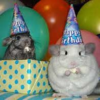 Chinchillas at Party Wearing Hats