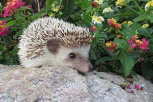 Ambassador Kismit is our African Pigmy Hedgehog