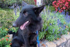 Rowan the Wolf Dog
