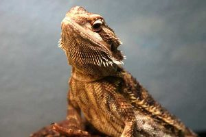 Ambassador Smaug the Bearded Dragon